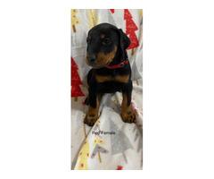 Females AKC Doberman puppies for sale.