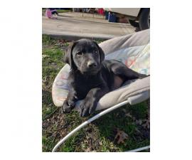 Labrador Rottie mix Puppies for sale