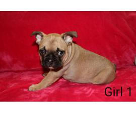French Bulldogs great family pets ready now