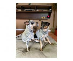 7 months old Blue Heeler Puppies