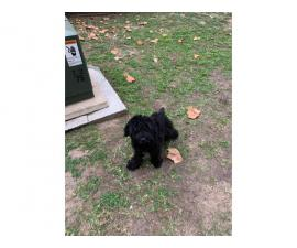 Male Giant Schnauzer Puppy for Sale