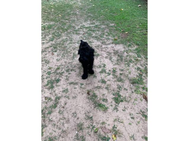 Male Giant Schnauzer Puppy for Sale in Pittsburg, Texas ...