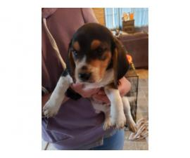 Two full-blooded beagle pups for adoption