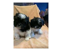 7 weeks old Shih Tzu Puppies