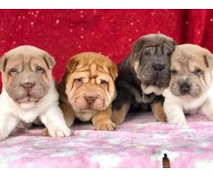 4 Shar Pei Puppies for adoption