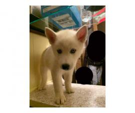 3 Husky Puppies for Sale