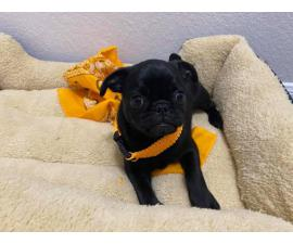 Pug puppies 3 females and 2 males