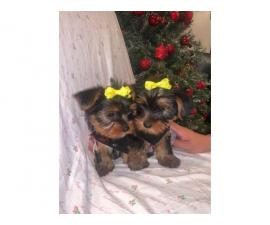10 weeks old teacup Yorkie puppies for Sale