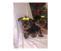 10 weeks old teacup Yorkie puppies for Sale