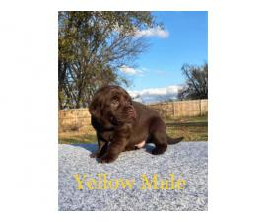 2 Labrador Puppies AKC Champion bloodlines