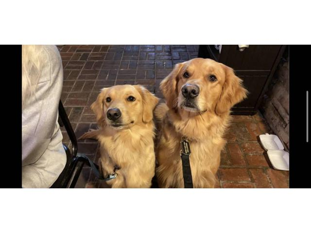 8 AKC Golden Retrievers for Sale in Dayton, Ohio - Puppies ...