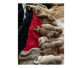 8 AKC Golden Retrievers for Sale