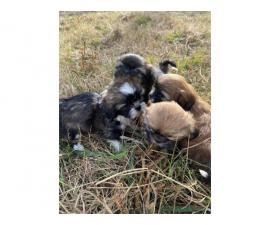 2 months old Shih Tzu Puppies for Adoption
