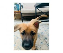 2 males Belgian Malinois for Sale