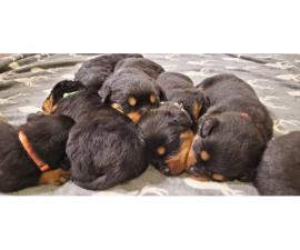 Excellent pedigree Rottweiler puppies for sale