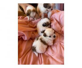 Shihtzu puppies for sale