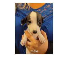 8 weeks old Rat-Cha Puppies