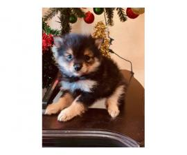 2 Pomeranian puppies ready for Christmas