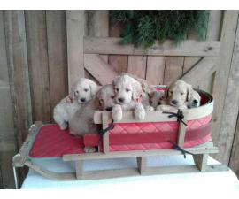 11 Goldendoodle puppies for sale