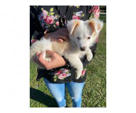 2 month old male Border Collie for sale