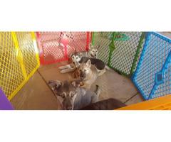 German Shepherd Husky Mix Pups