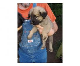 6 weeks old males and females Purebred Anatolian Shepherd puppies