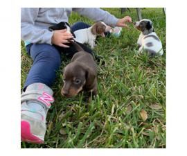 3 boys pure breed miniature Dachshund