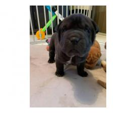 3 Sharpei puppies for sale