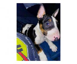 Tricolor Bull Terrier Puppy