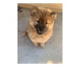 Female Chow Chow puppy for sale