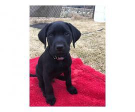 4 AKC Solid Black Labrador Retrievers
