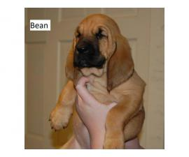 3 full-blooded Bloodhound puppies available