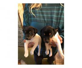 5 males JRT puppies needing a new home