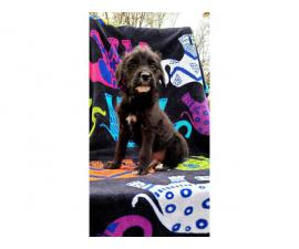 Male Yorkie Poodle Puppy