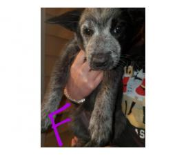 6 females and 2 males Blue Heelers