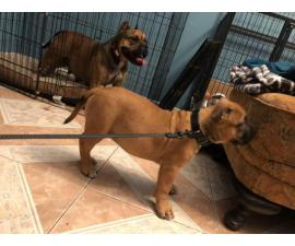Fawn female American-Bully puppy for sale