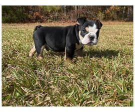 AKC registered English Bulldog puppy available for sale
