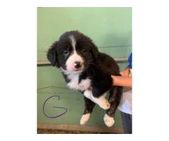 9 Border Heeler Puppies for sale