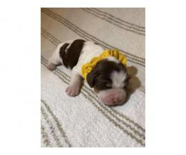 4 English Springer spaniel puppies available