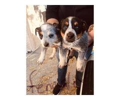 Blue Heeler Pups for sale