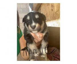 Rottweiler Siberian Husky Mix Puppies
