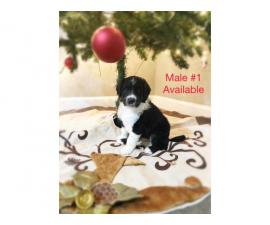 Christmas Puppies For Sale