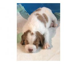 4 AKC registered Brittany puppies for sale