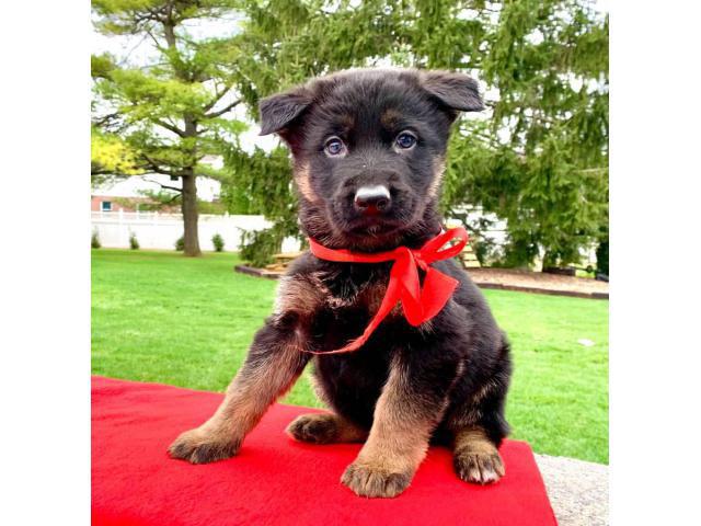 Full AKC German Shepherd Pups For Sale Near Me In Philippines