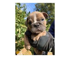 3 Olde English Bulldog puppies for sale