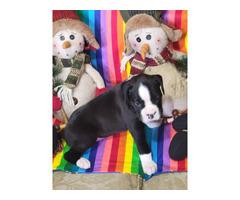 4 AKC Boxer Puppies