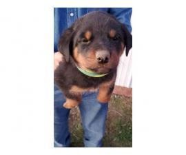 5 Rottweiler puppies available