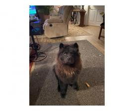 2 Full-blooded Chow Puppies for Sale