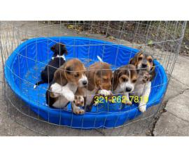 Beagle puppies 3 boys and 2 girls