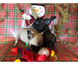 2 Super cute French bulldog puppies for sale